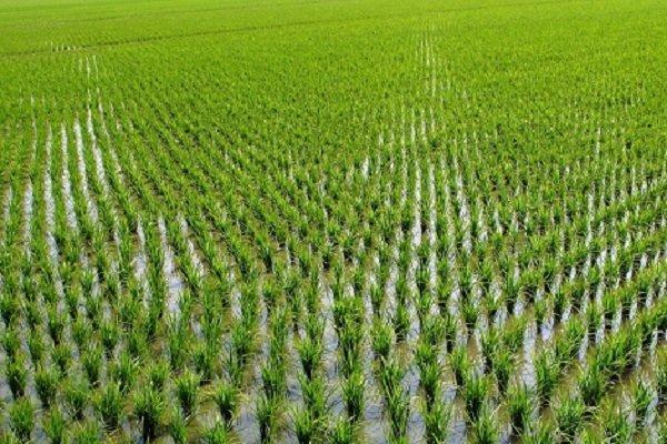 کاشت برنج مقصر دیگر گرمایش زمین