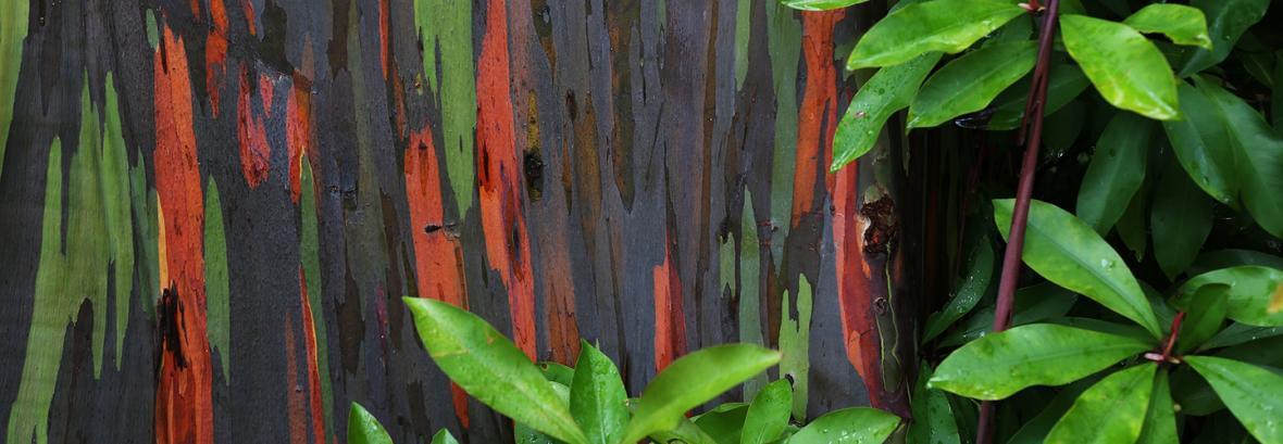 تصاویر رنگین کمان های درختی ، جنگلی با درختان هفت رنگ در هاوایی